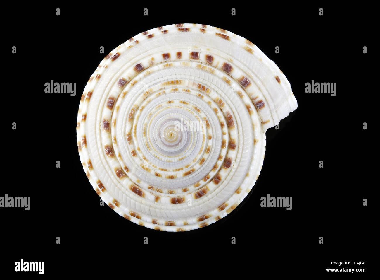 Seashell demonstrating sacred geometry or logarithmic spiral - Stock Image
