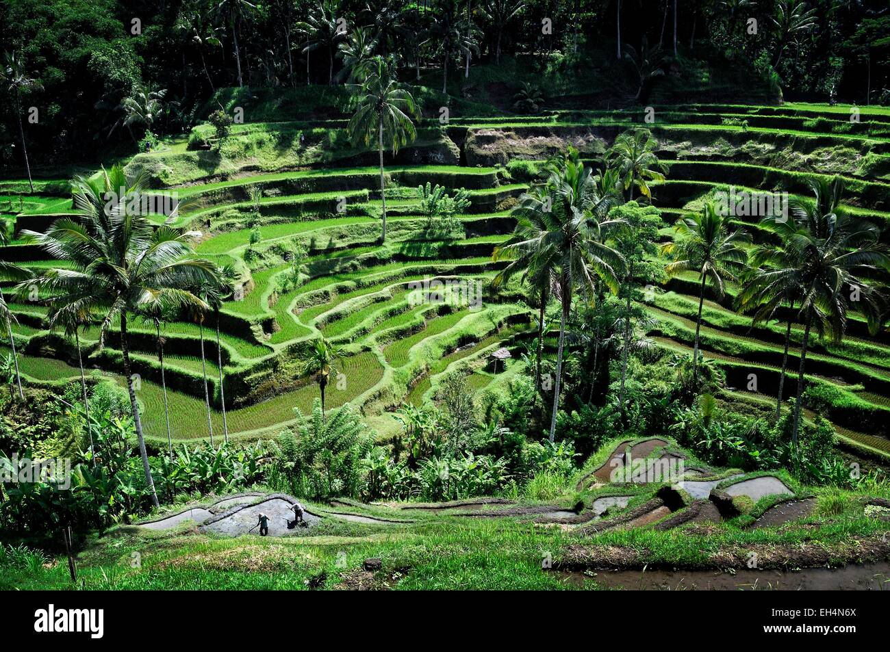 Indonesia, Nusa Tenggara, Bali, Tegallalang rice terraces listed as World Heritage by UNESCO - Stock Image