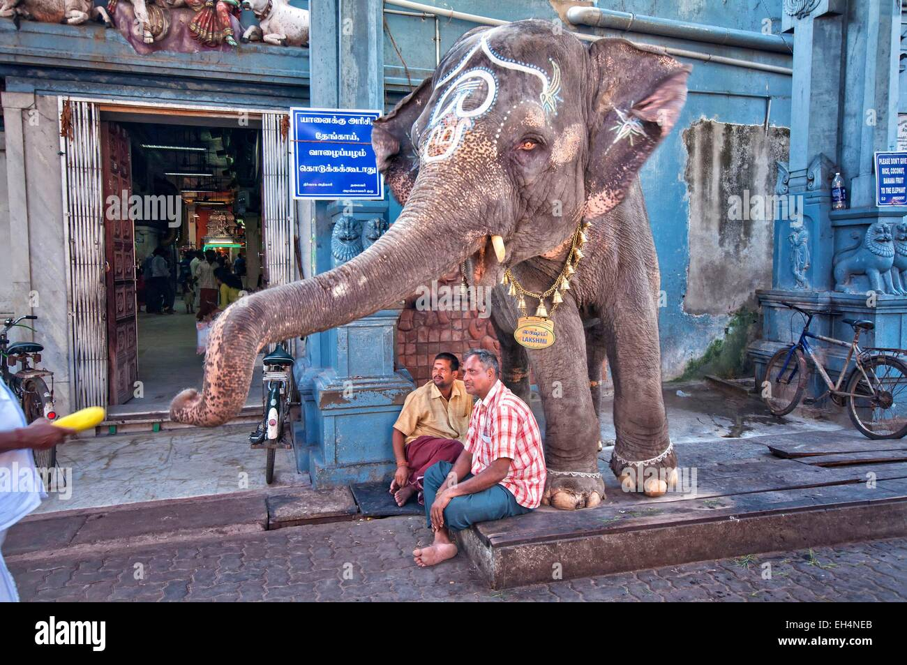 India, Tamil Nadu, Pondicherry, Lakshmi, the temple elephant Stock ...