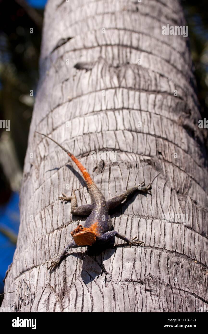 Namibia, Kunene region, Kaokoland, Namibian rock agama (Agama planiceps) on the trunk of a palm tree - Stock Image