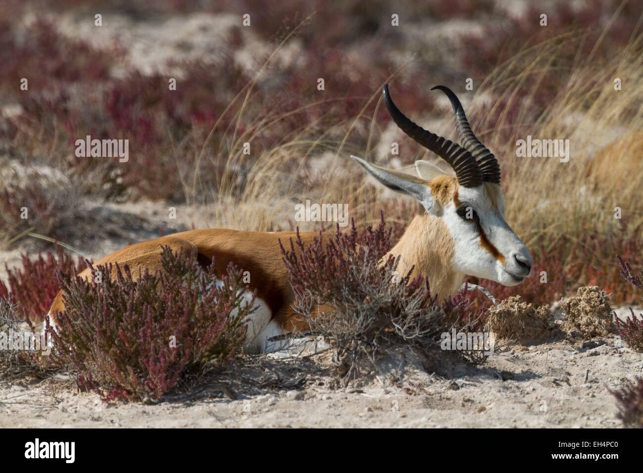 Namibia, Oshikoto region, Etosha National Park, springbok (Antidorcas marsupialis) - Stock Image