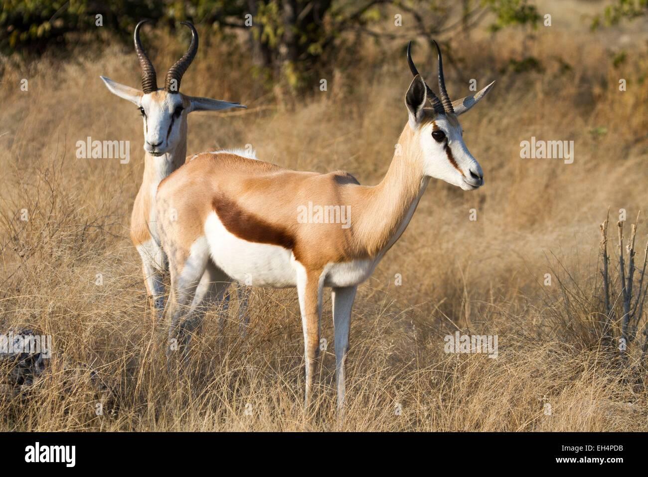 Namibia, Oshikoto region, Etosha National Park, springboks (Antidorcas marsupialis) - Stock Image