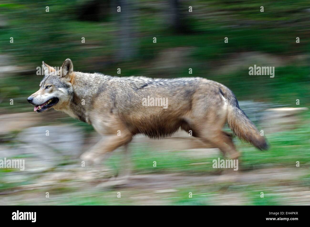 Wolf Europe (Canis lupus), current - Stock Image