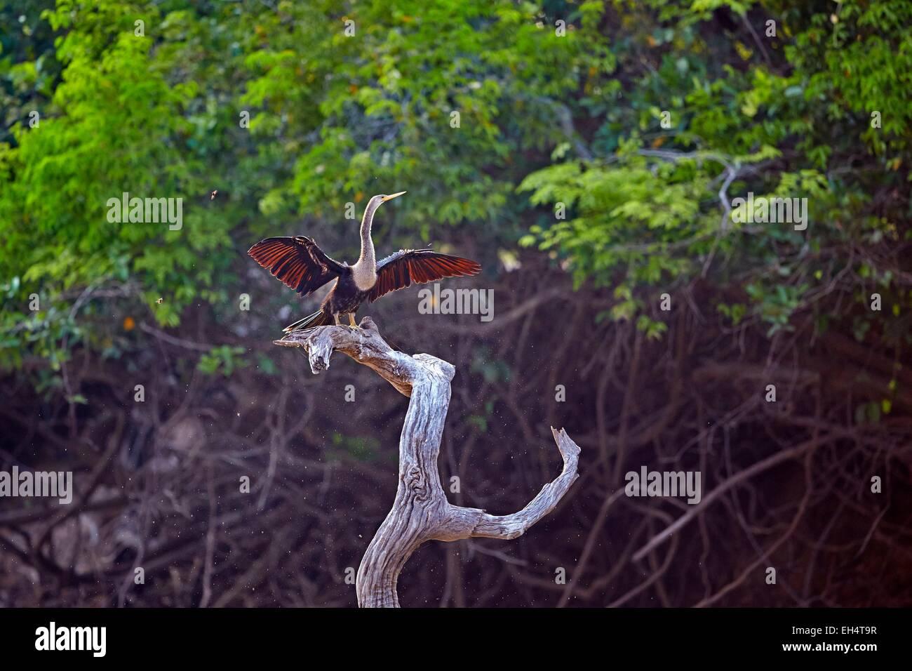 Brazil, Mato Grosso, Pantanal region, Neotropic Cormorant or Olivaceous Cormorant (Phalacrocorax brasilianus or - Stock Image