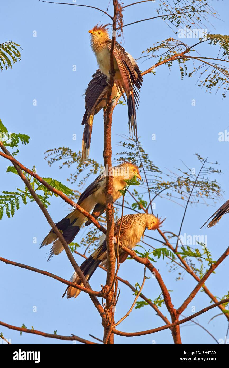 Brazil, Mato Grosso, Pantanal region, guira cuckoo (Guira guira), adult, group perched on a tree - Stock Image