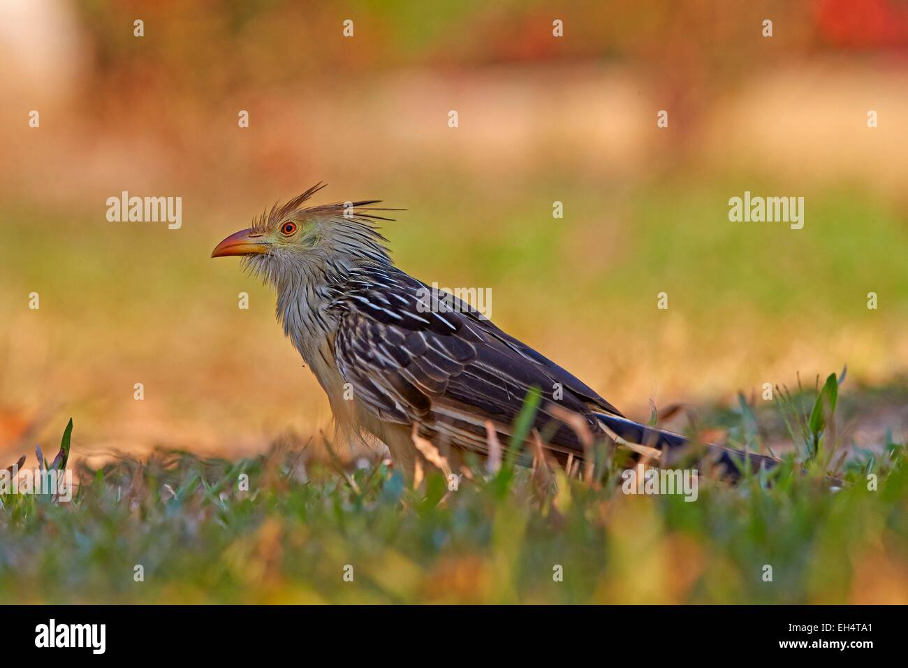 Brazil, Mato Grosso, Pantanal region, guira cuckoo (Guira guira), adult on the ground - Stock Image