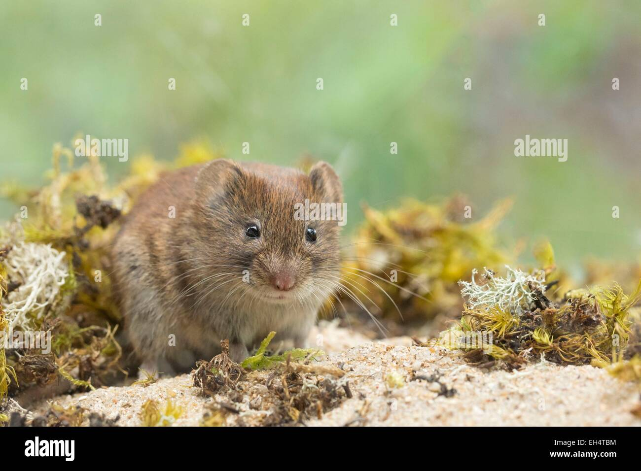 France, Vendee, Saint Jean de Monts, Bank vole, (Clethrionomys glareolus) - Stock Image