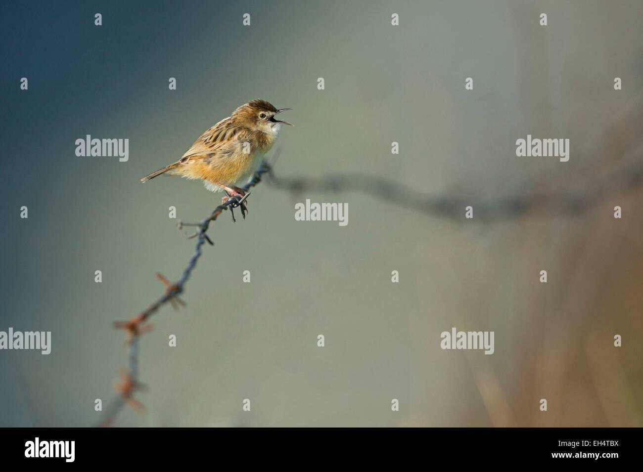 France, Vendee, La Barre de Monts, Cisticole rushes, (Cisticola juncidis) sings - Stock Image