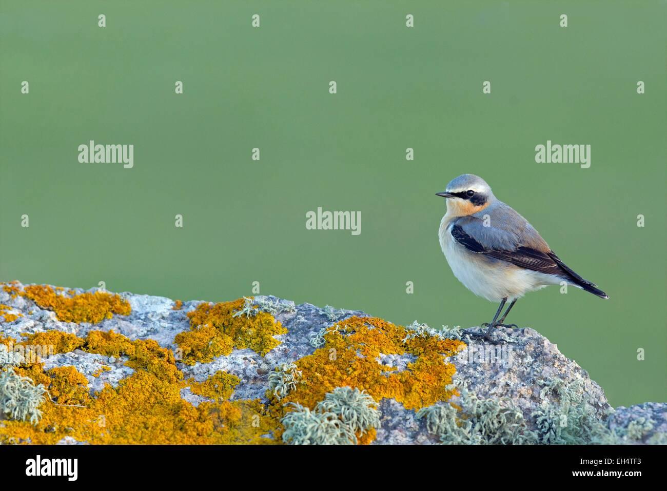 France, Manche, Wheatear, (Oenanthe oenanthe) - Stock Image