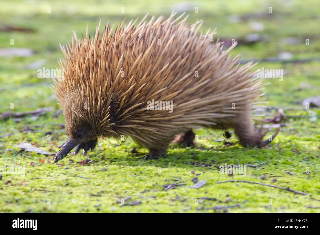 Australia, South Australia, Kangaroo island, Short-beaked echidna (Tachyglossus aculeatus) in a park Stock Photo