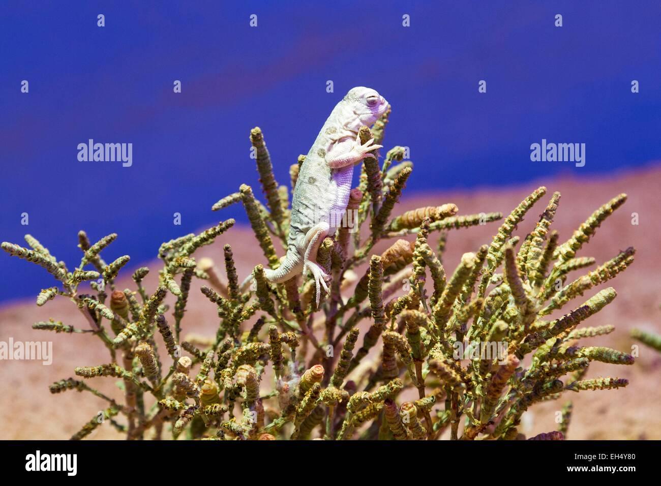 Australia, Northern Territory, Alice Springs, Alice Spring Desert Park, Lake Eyre Dragon (Ctenophorus maculosus) - Stock Image