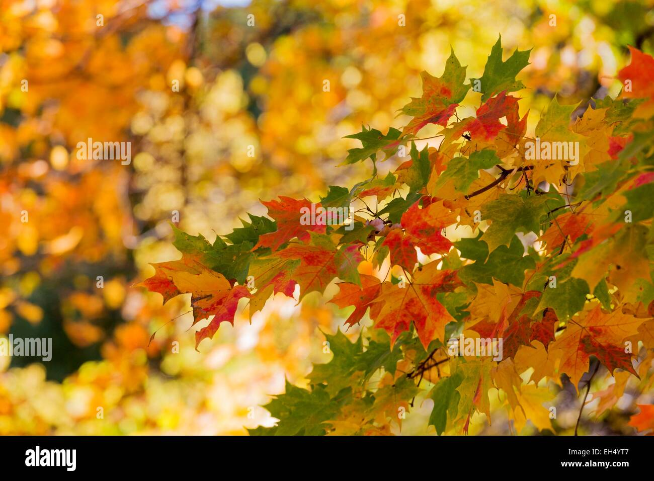 Canada, Quebec, Montreal, fall foliage - Stock Image