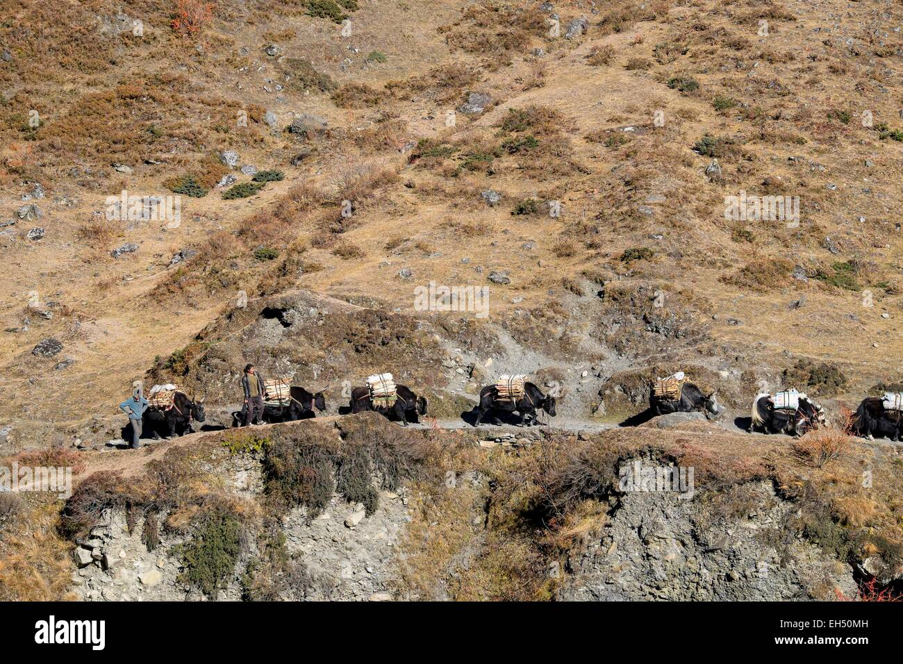 Nepal, Gandaki zone, Tsum valley trek, yaks caravan coming from Tibet - Stock Image
