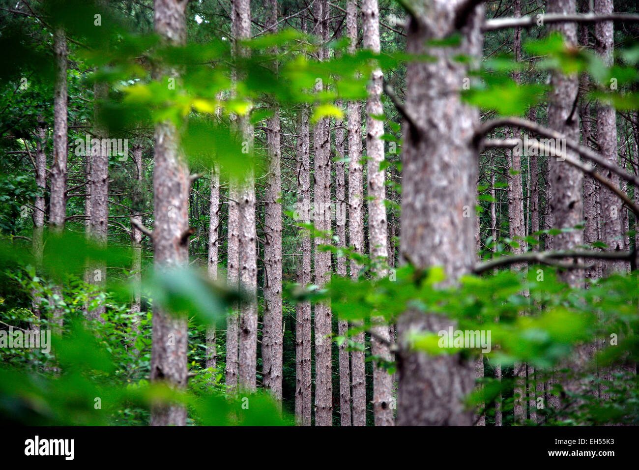 Pine situated in the Arcadia Dunes/C.S. Mott Nature Preserve along the Baldy Trail in northwest Michigan. - Stock Image