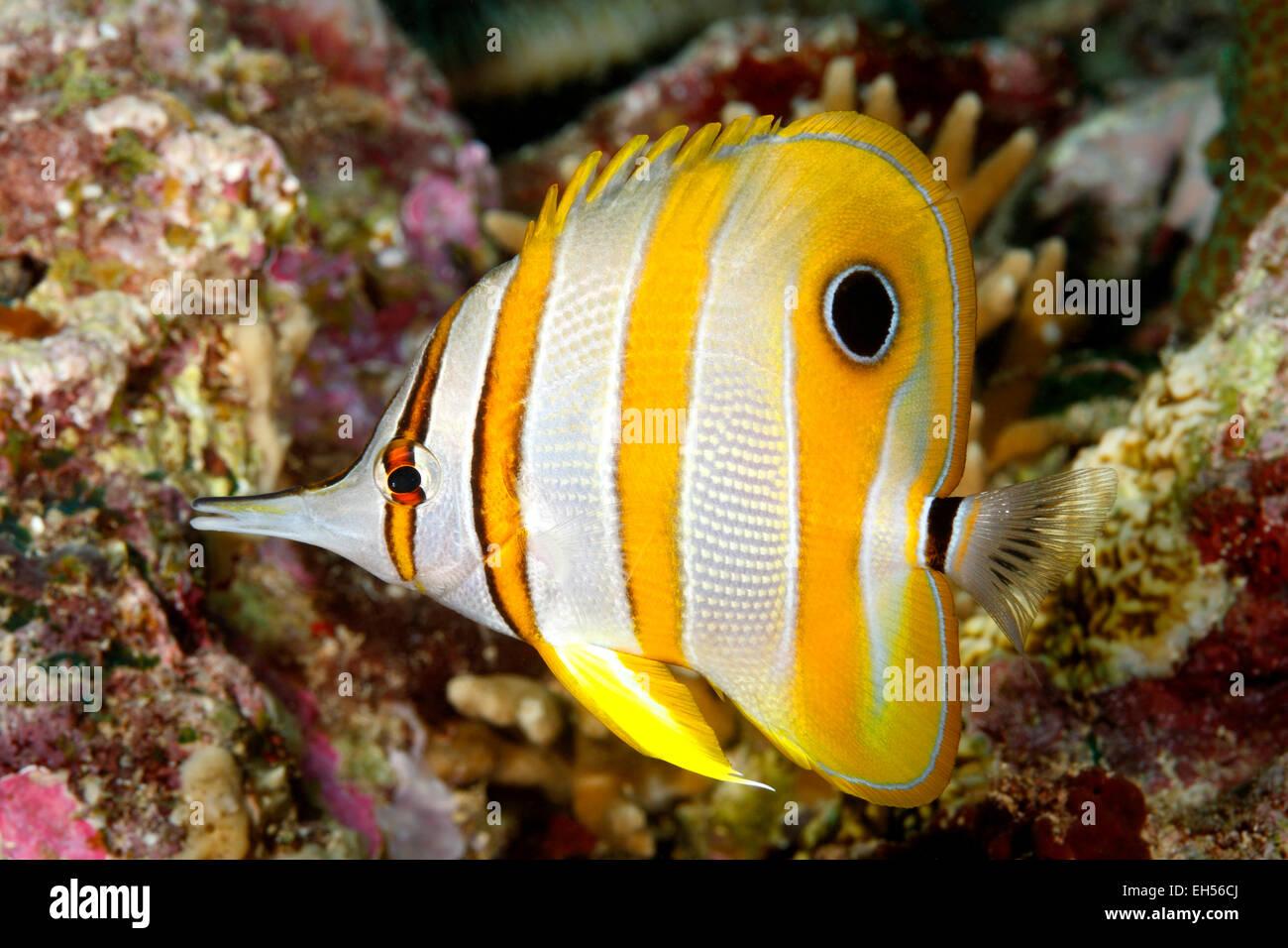 Beaked Coralfish, Chelmon rostratus. - Stock Image