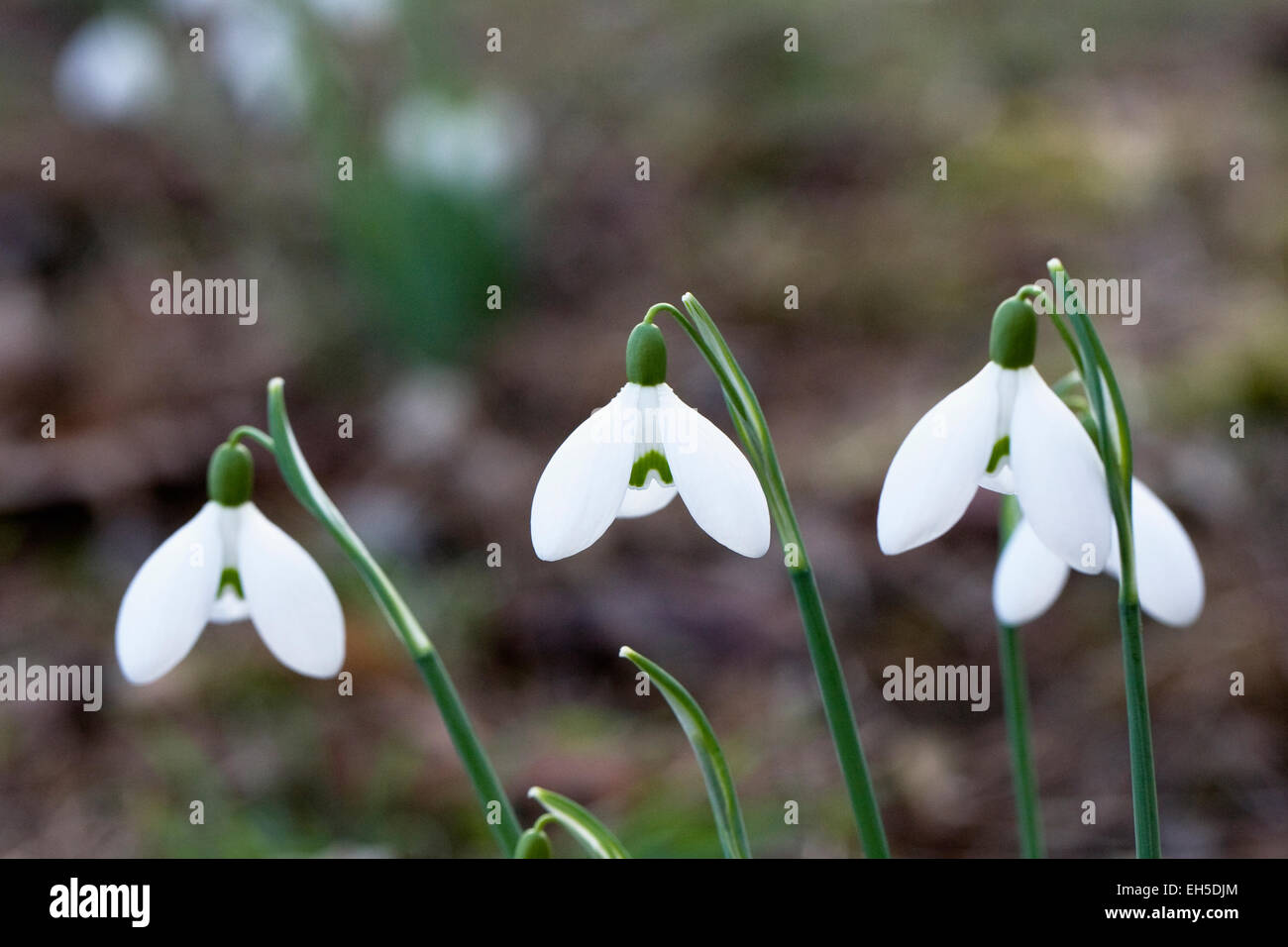 Galanthus Brenda Troyle. Snowdrops growing on the edge of a woodland garden. - Stock Image