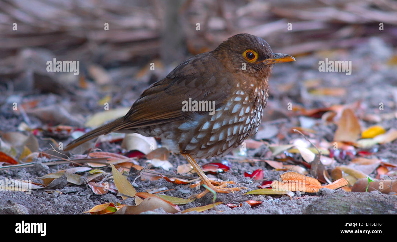 Forest Thrush (Turdus lherminieri), a vulnerable bird species, photographed on Montserrat, West Indies, Caribbean - Stock Image
