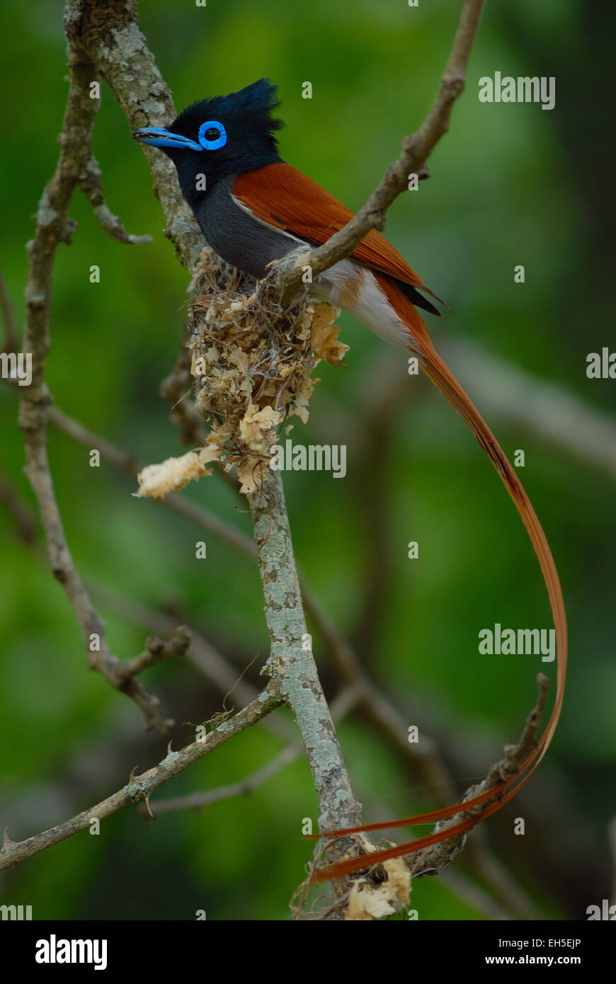 Male Paradise Flycatcher (Terpsiphone paradisi) with its nest on Pongola Game Reserve, Kwa-Zulu Natal, South Africa Stock Photo