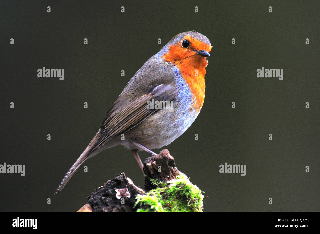 A cheeky looking robin on a mossy log UK Stock Photo