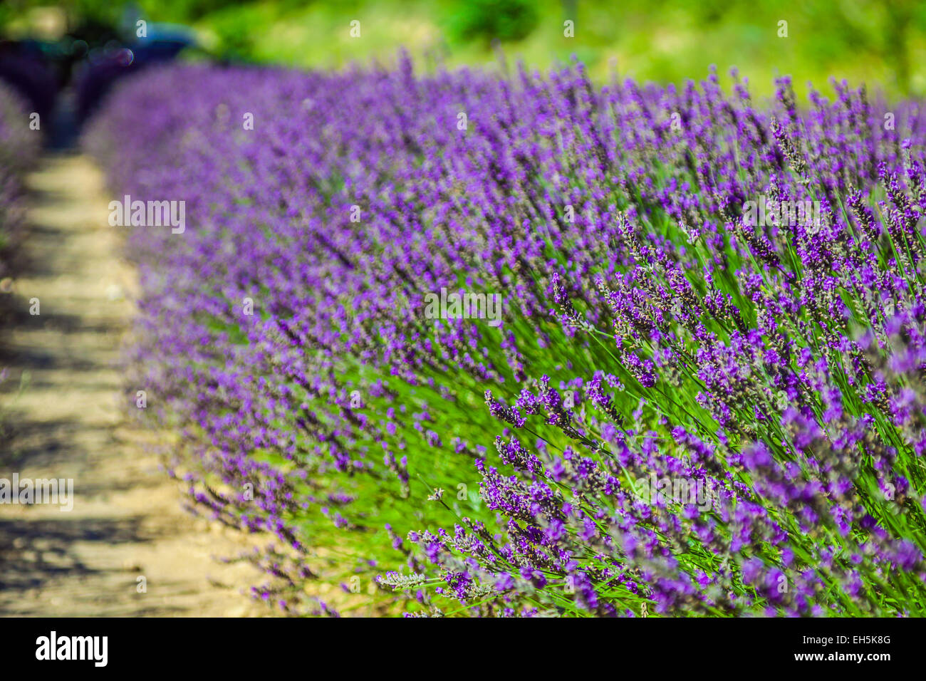 Provence - lavender field in the Gordes ,France Stock Photo