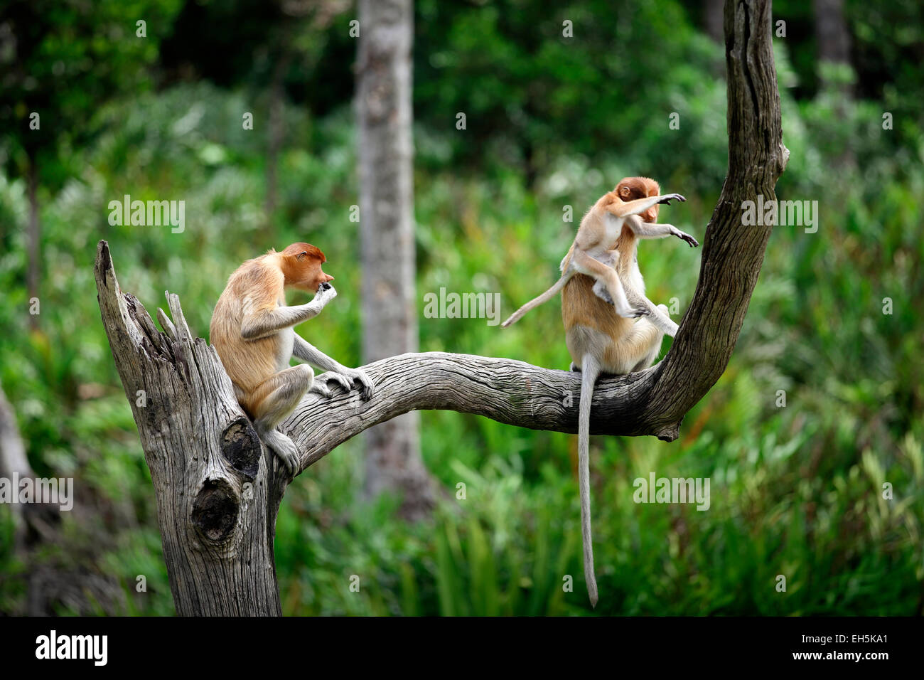 Proboscis monkey family with jumping baby in tree - Stock Image