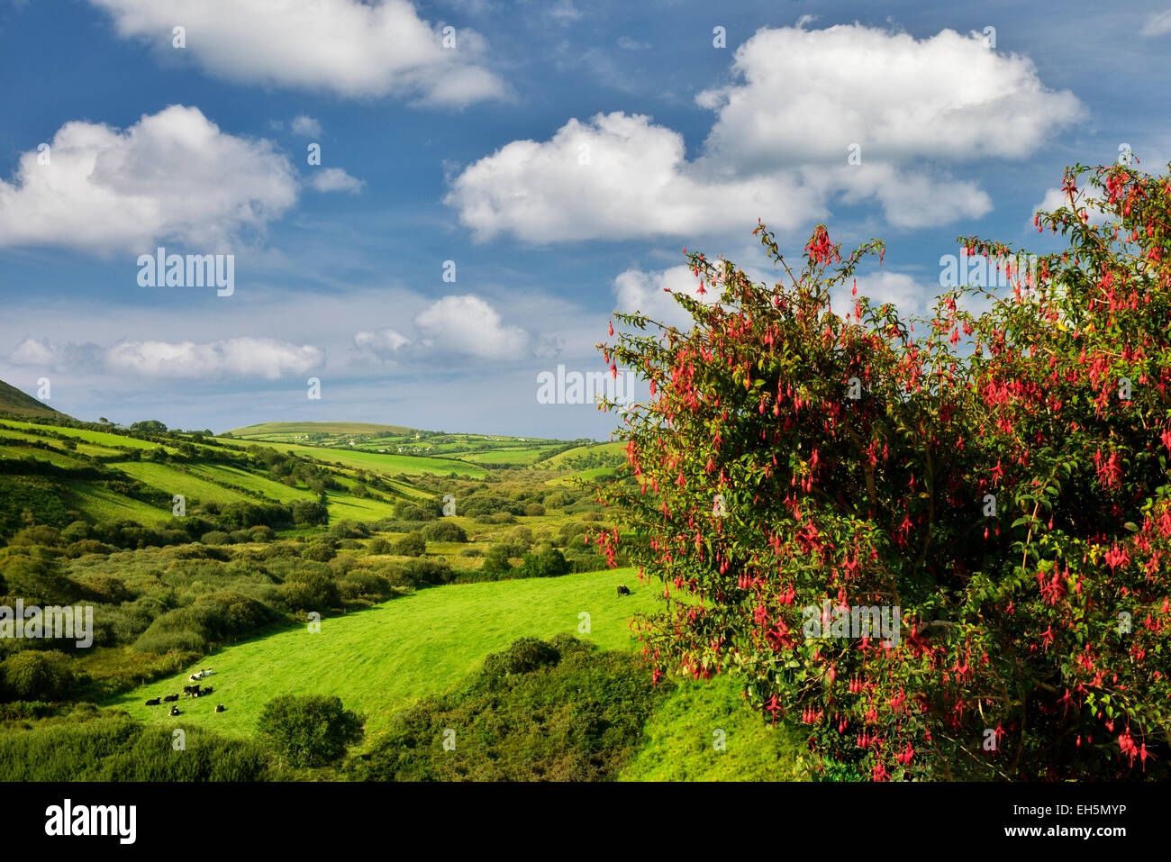 Pastoral scene with cows and pasture. Dingle Peninsula. Ireland - Stock Image