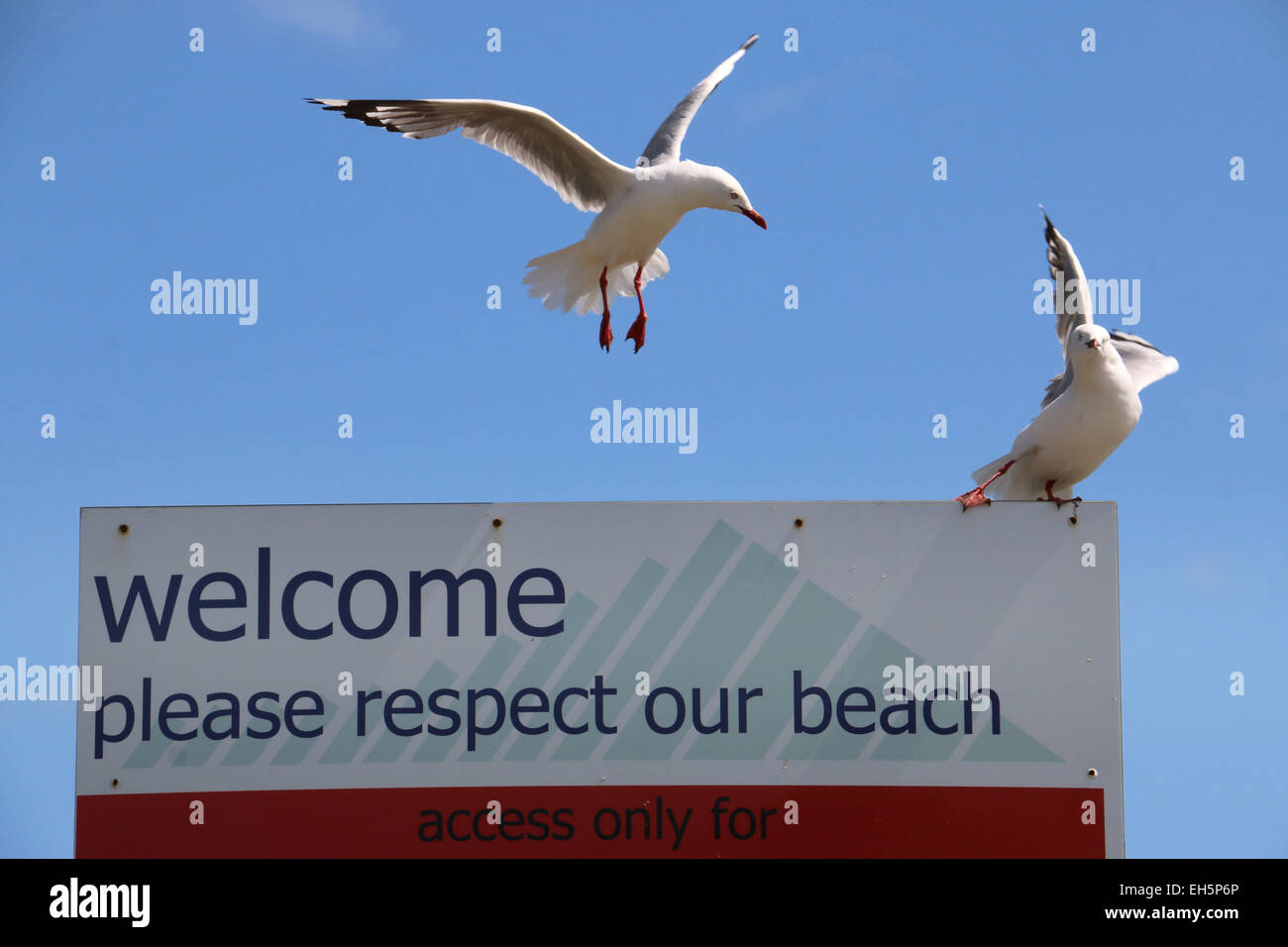 Red billed gull on respect our beach sign Waikanae Beach New Zealand - Stock Image