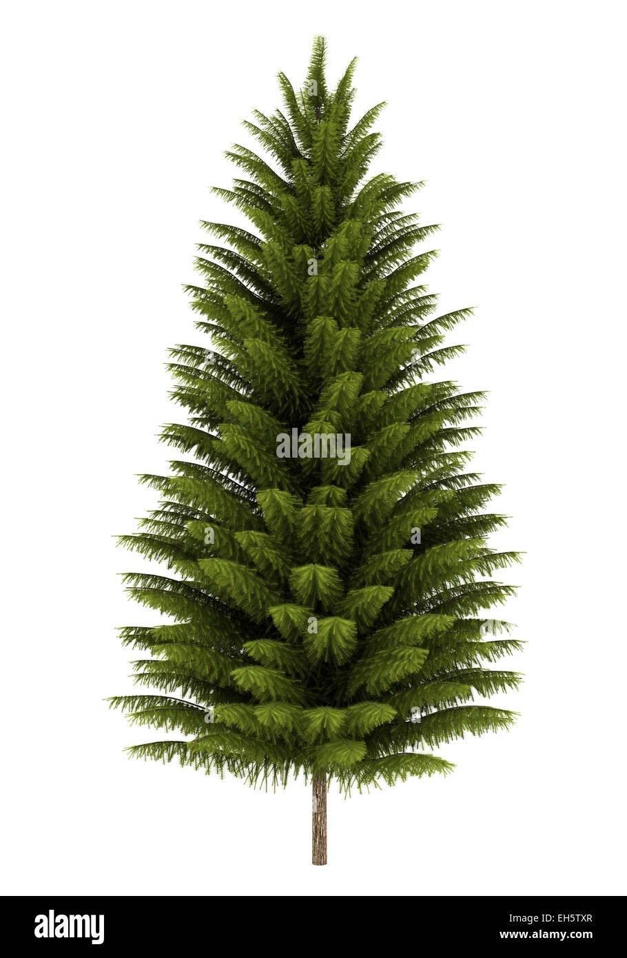 norway spruce tree isolated on white background - Stock Image