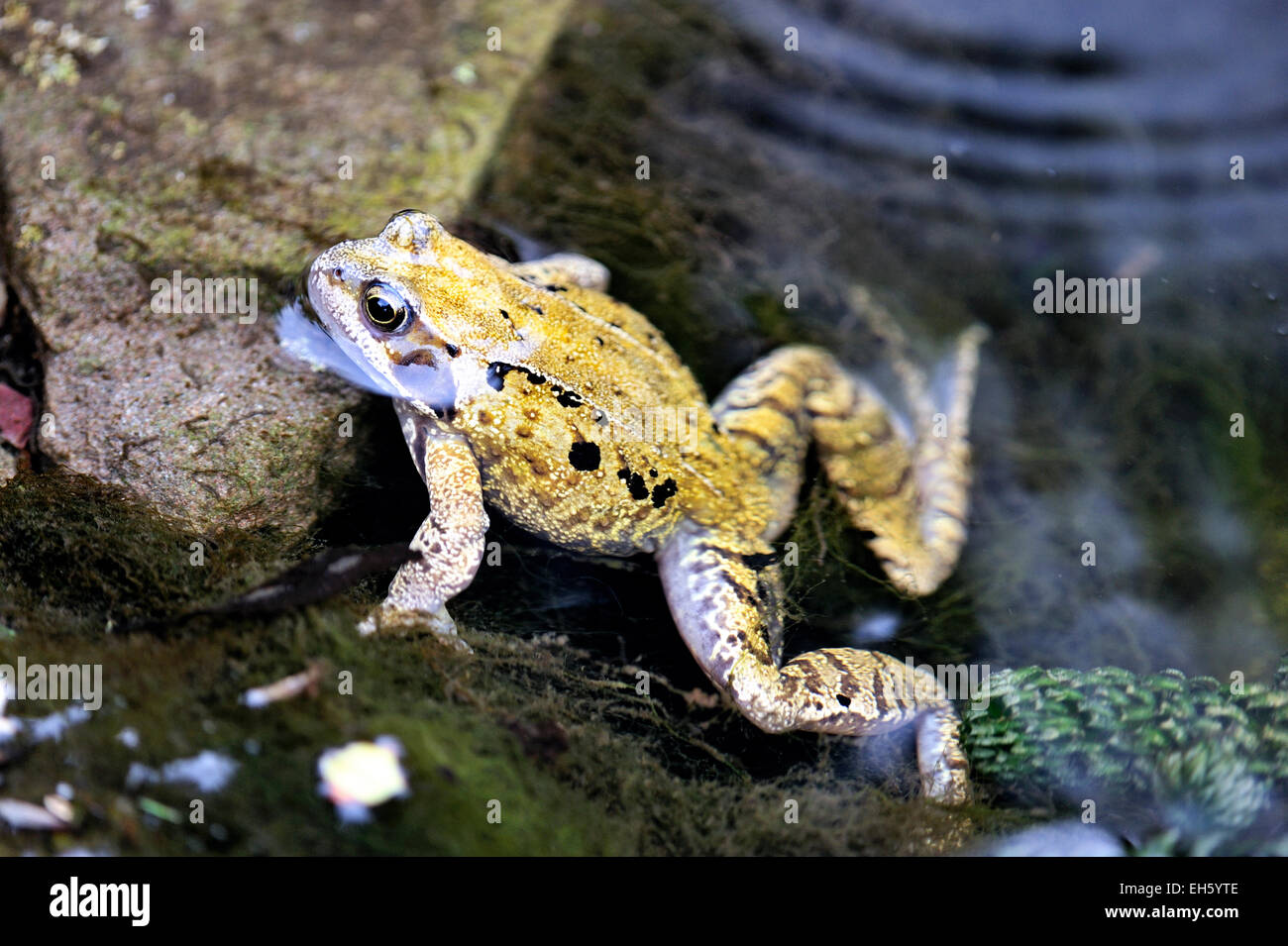 Common frog Rana temporaria in uk garden pond - Stock Image