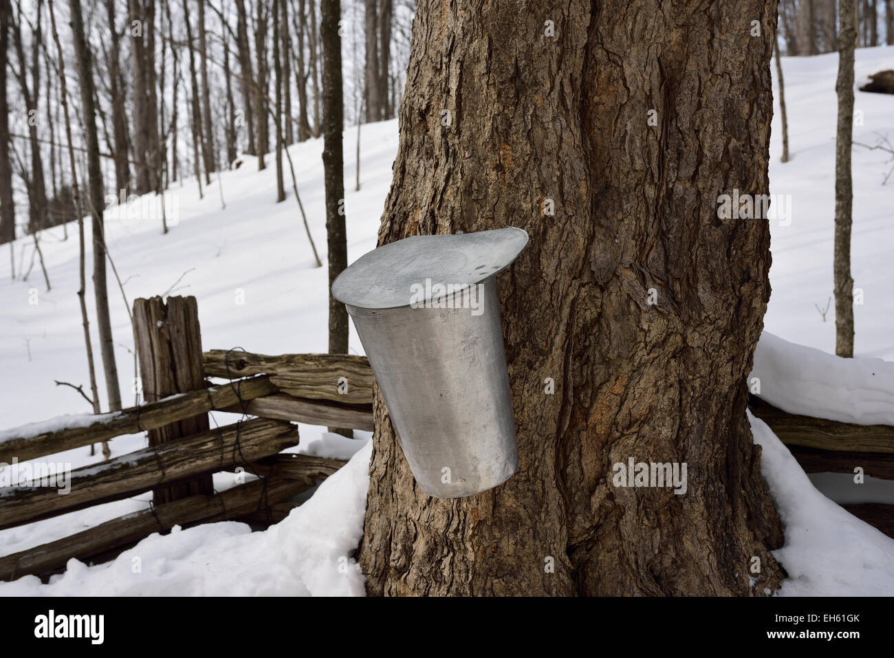 Bucket on old sugar Maple tree in snow covered Ontario forest to collect sap for syrup in March Canada - Stock Image