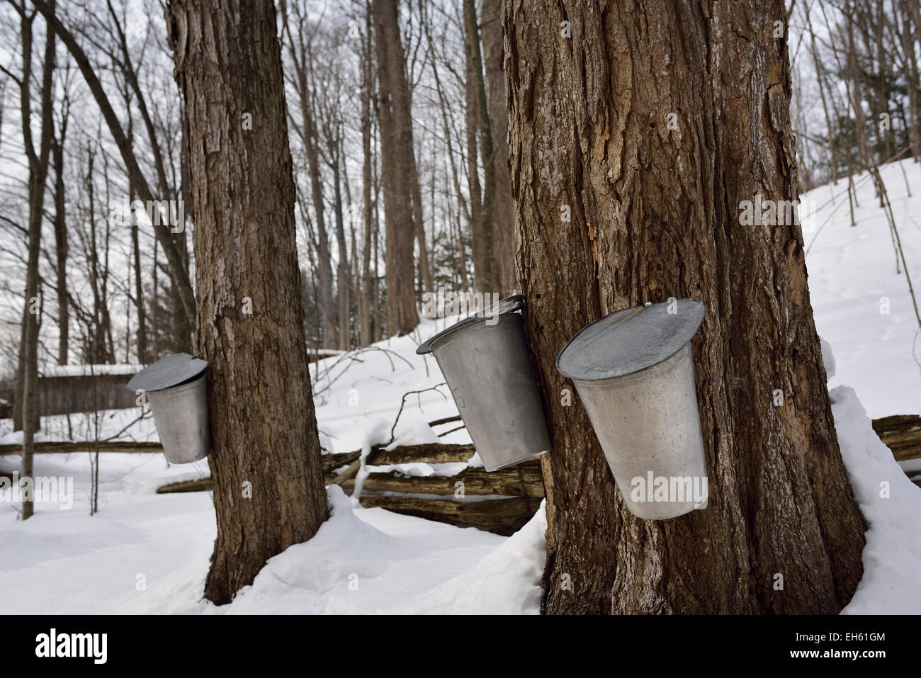Buckets tapping old sugar Maple trees in Ontario forest to collect sap for syrup  with snow Canada - Stock Image