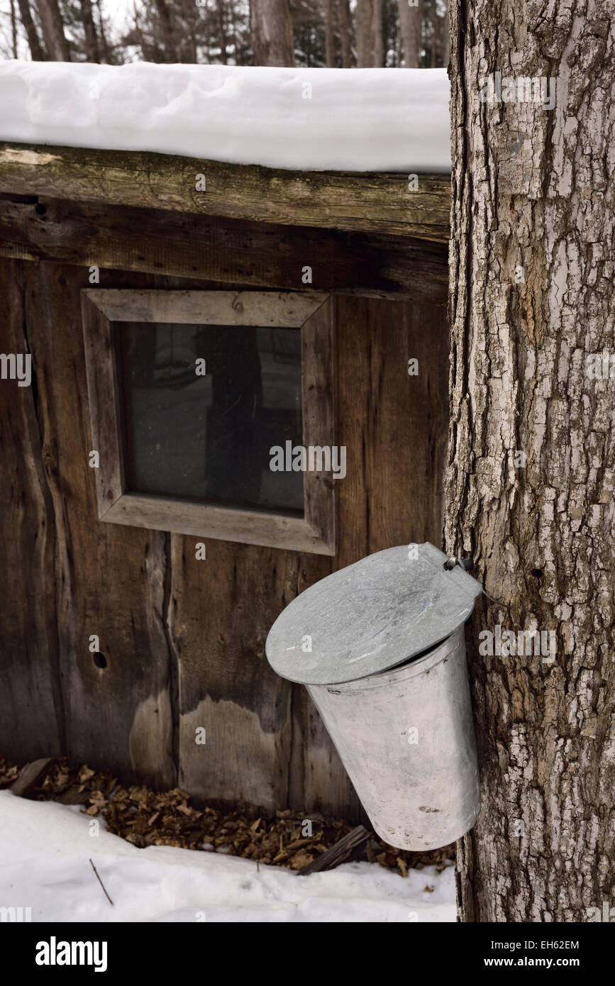 Bucket on sugar Maple tree in Ontario sugar bush forest collecting sap for syrup next to sugar shack in a snow covered - Stock Image