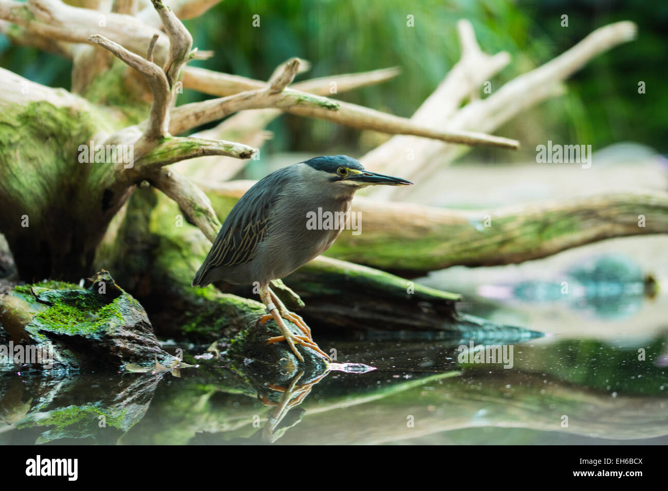 water bird sitting on a lake in front of a root - Stock Image