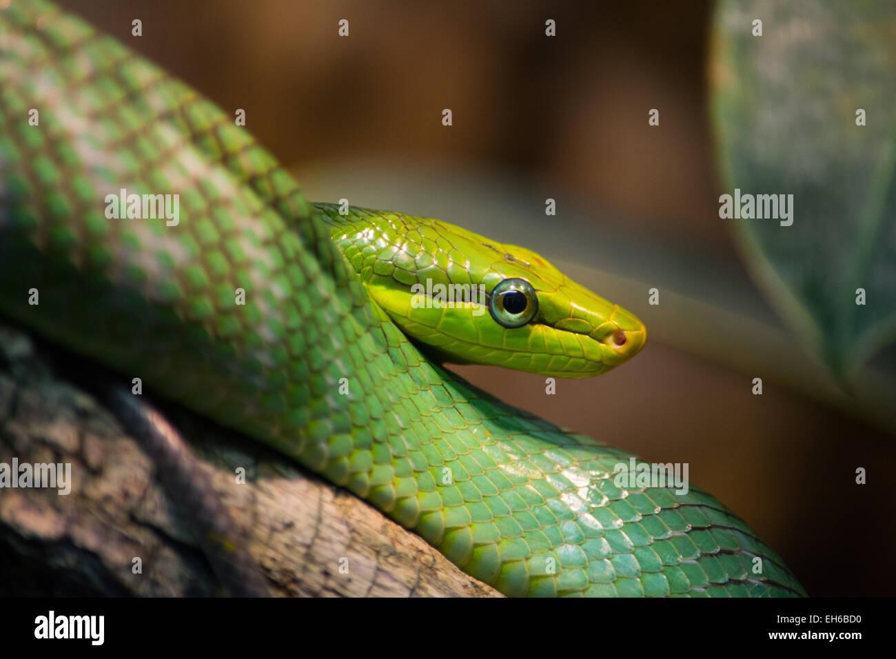 Green tree snake sitting on root - Stock Image