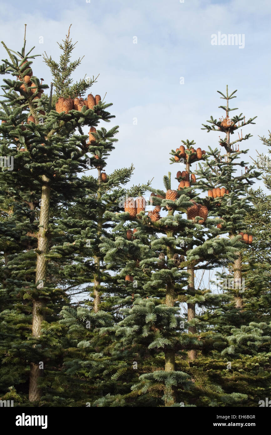 Spruces with lots of spruce cones - Stock Image
