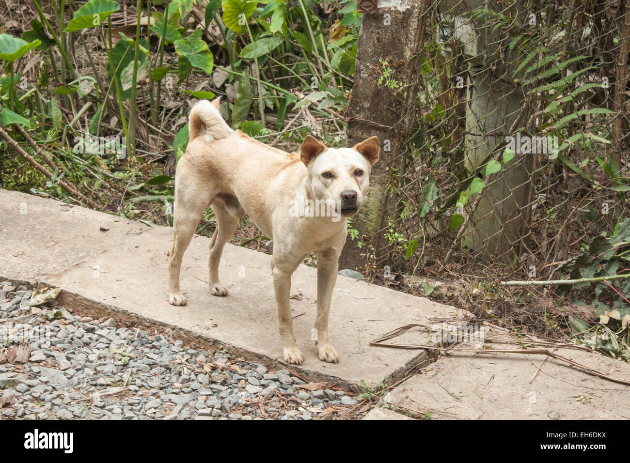 A wild, angry dog, on a road, in the jungle - Stock Image