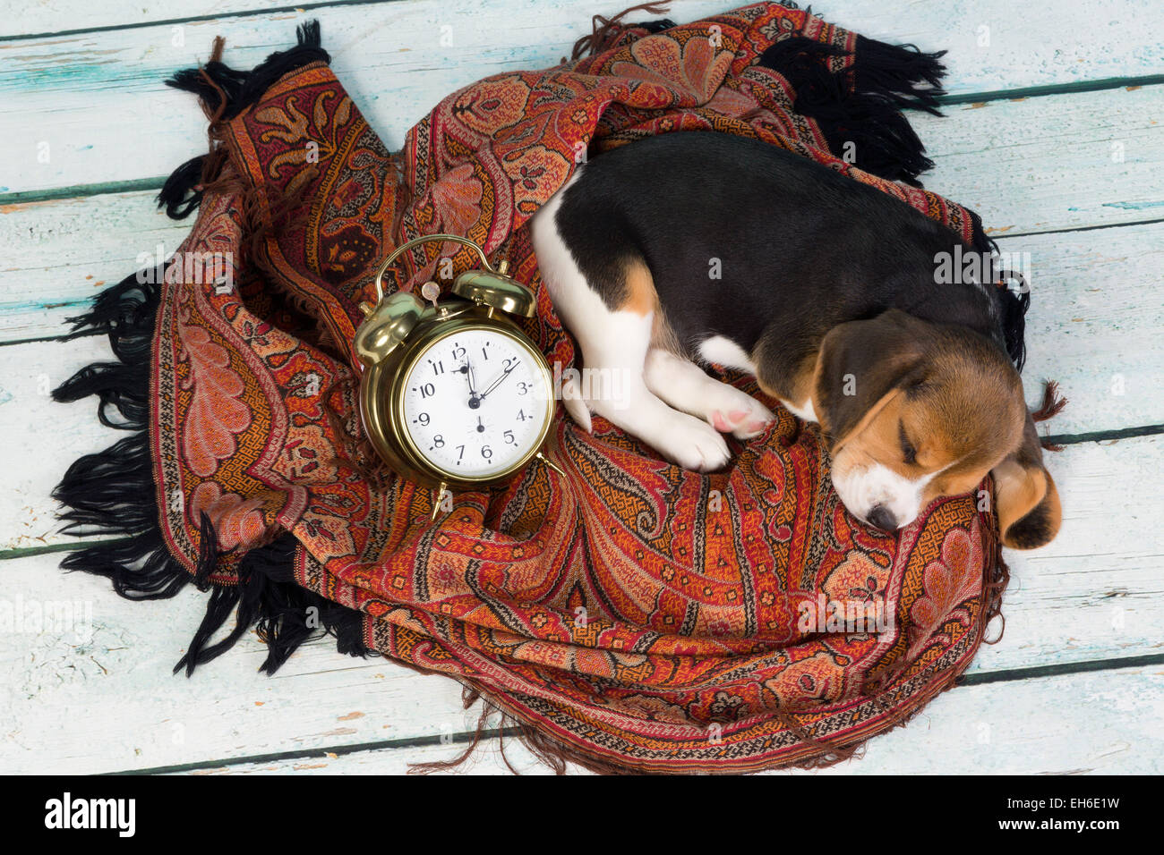 Tired little seven weeks old beagle puppy sleeping - Stock Image