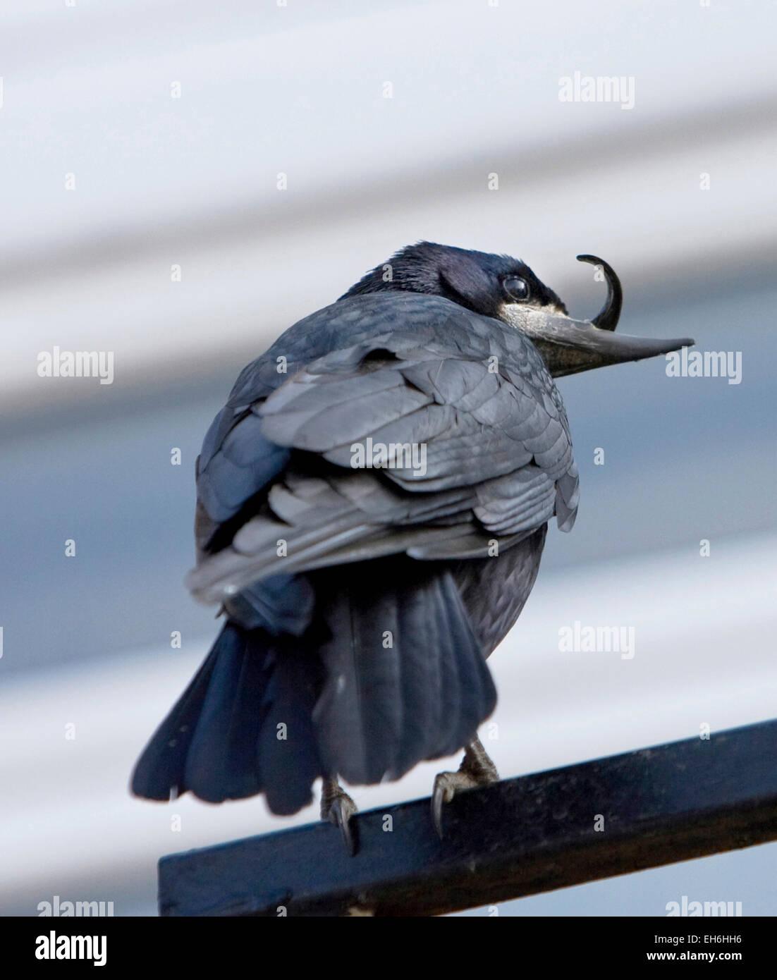 Rook with deformed beak Oxon - Stock Image