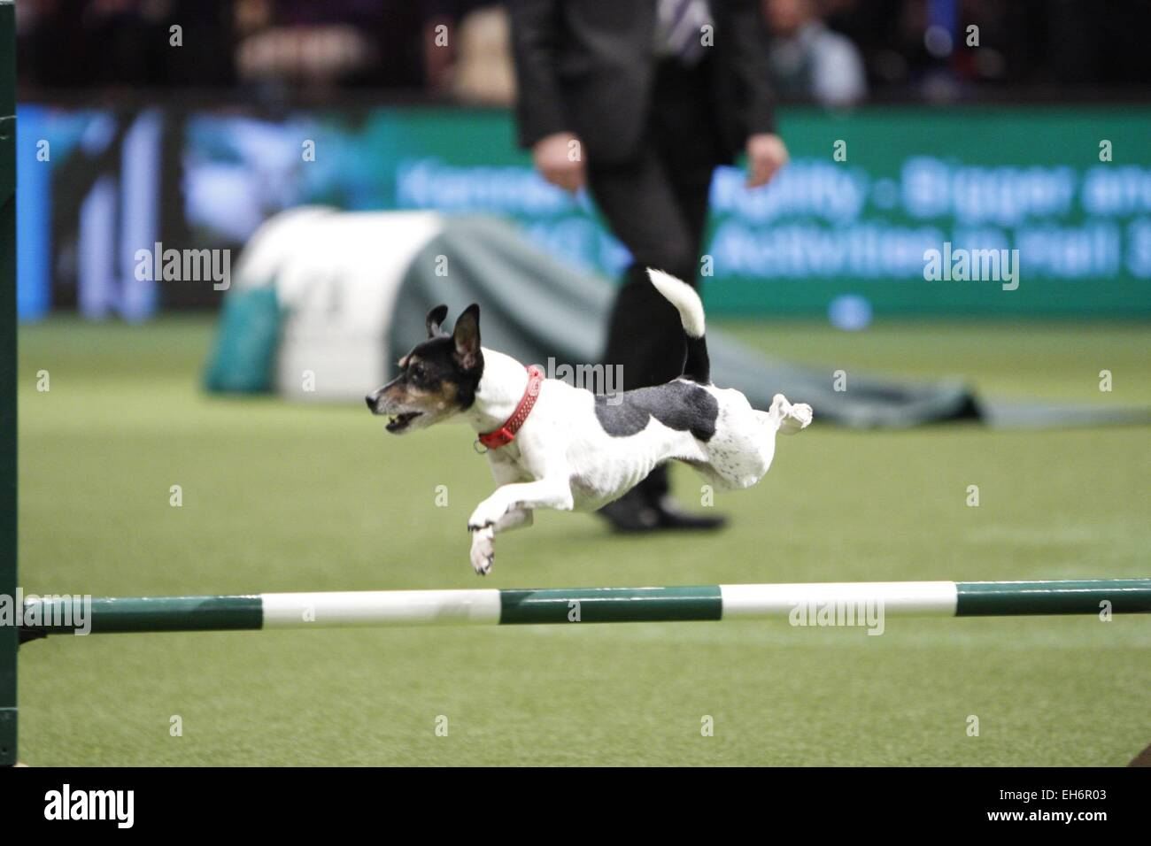 Trade Stands Crufts 2015 : Terrier crufts dog show stock photos terrier crufts dog show