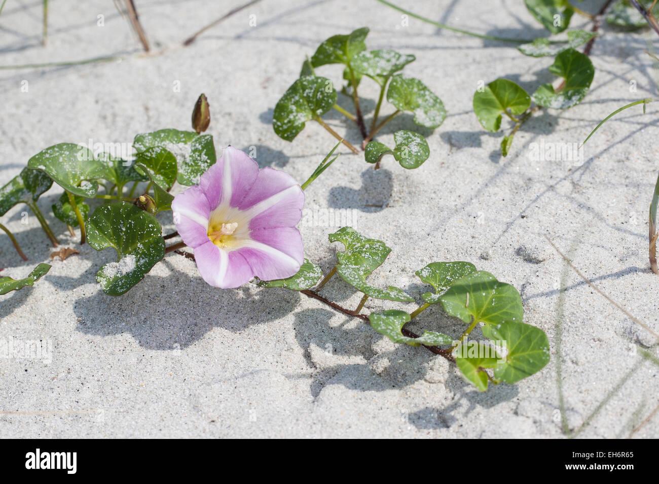 Seashore false bindweed, beach morning glory, Strandwinde, Strand-Winde, Calystegia soldanella, Convolvulus soldanella - Stock Image