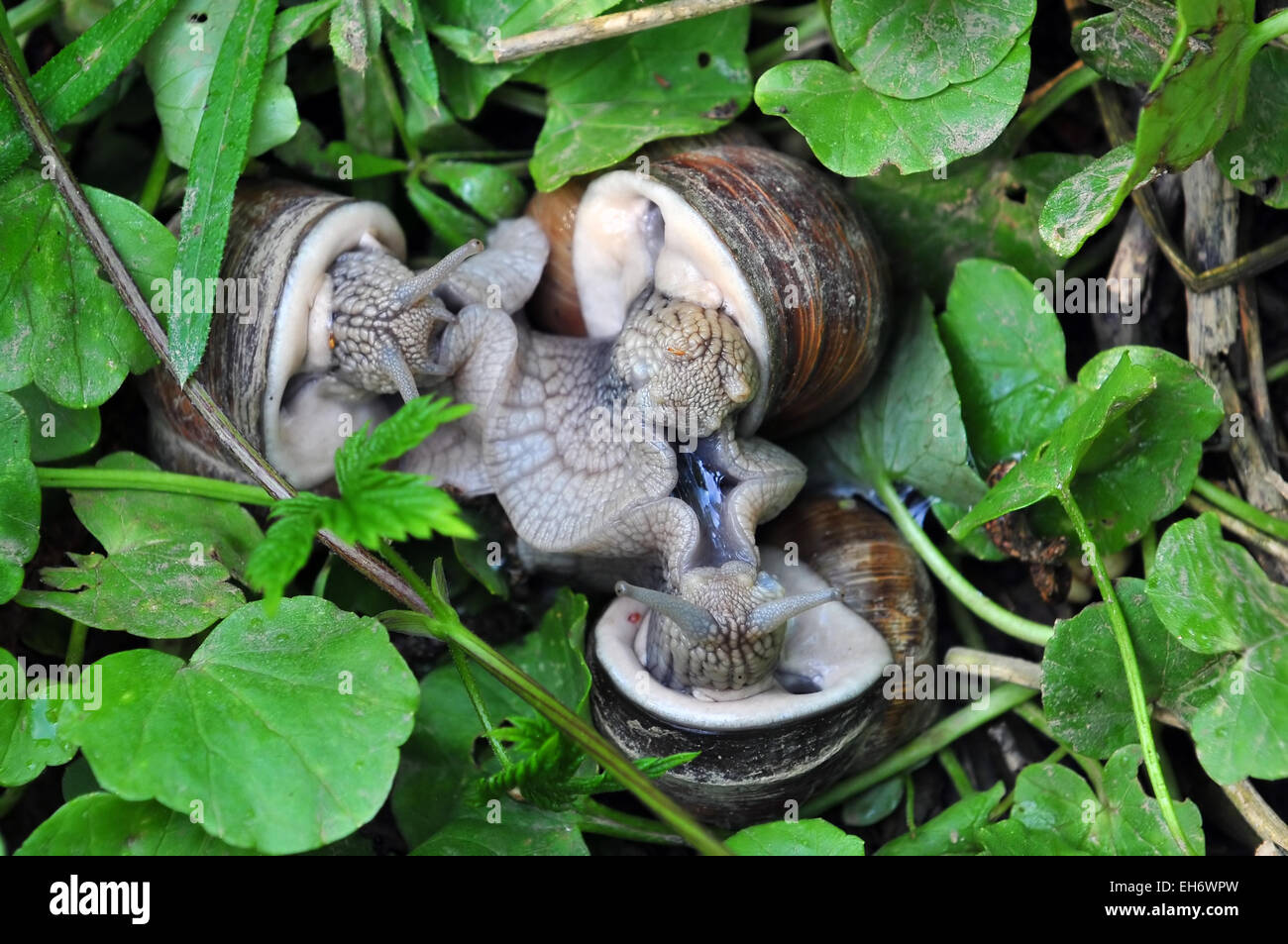 Three snails mating - Stock Image