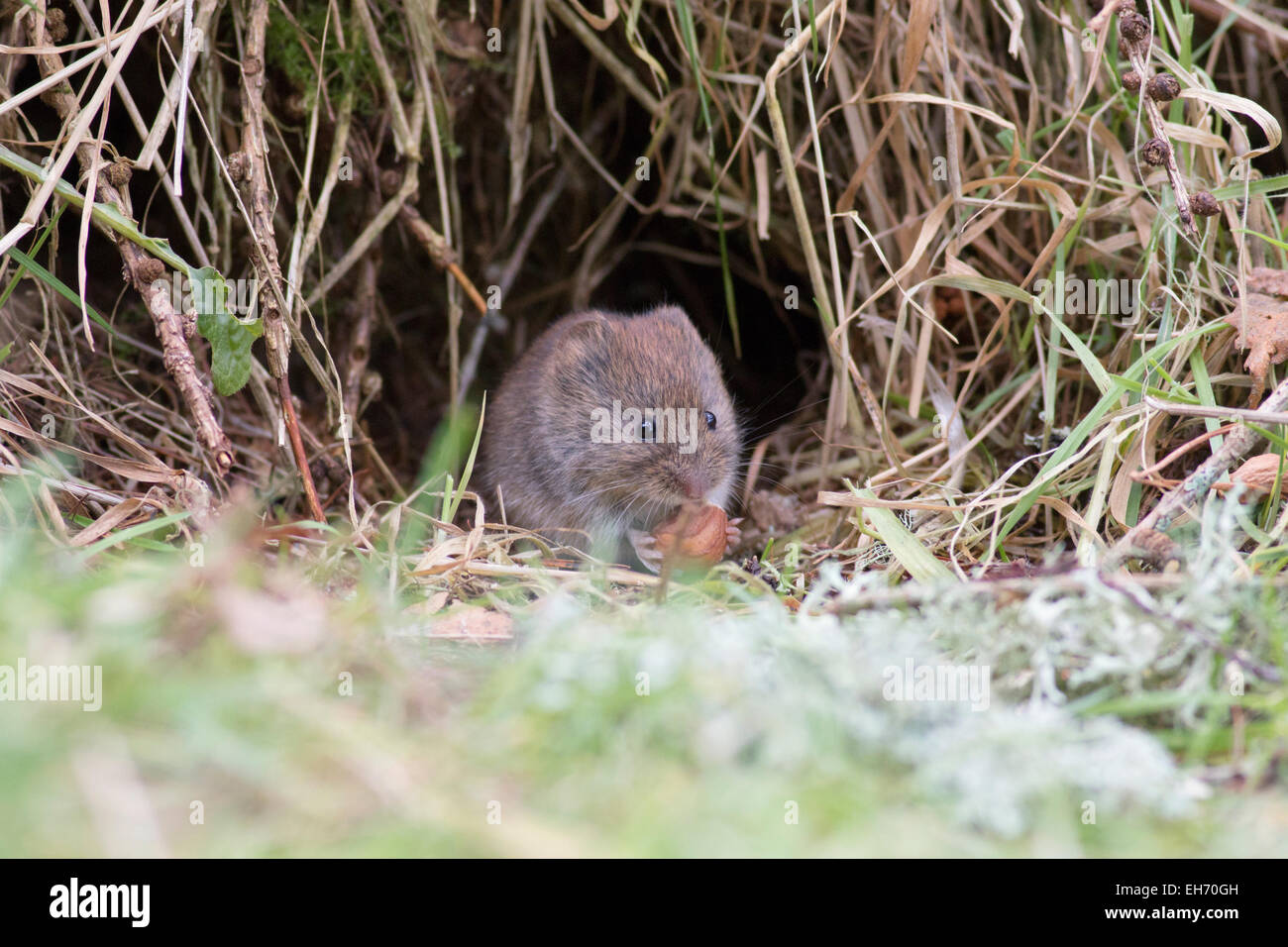 Field vole or short-tailed vole (Microtus agrestis) in the forest, Highlands, Scotland, UK - Stock Image
