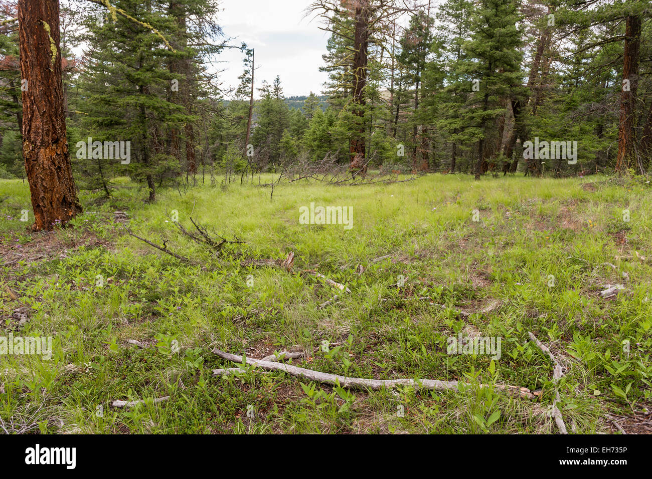 Clearing in boreal forest near Clinton, British Columbia, Canada. - Stock Image