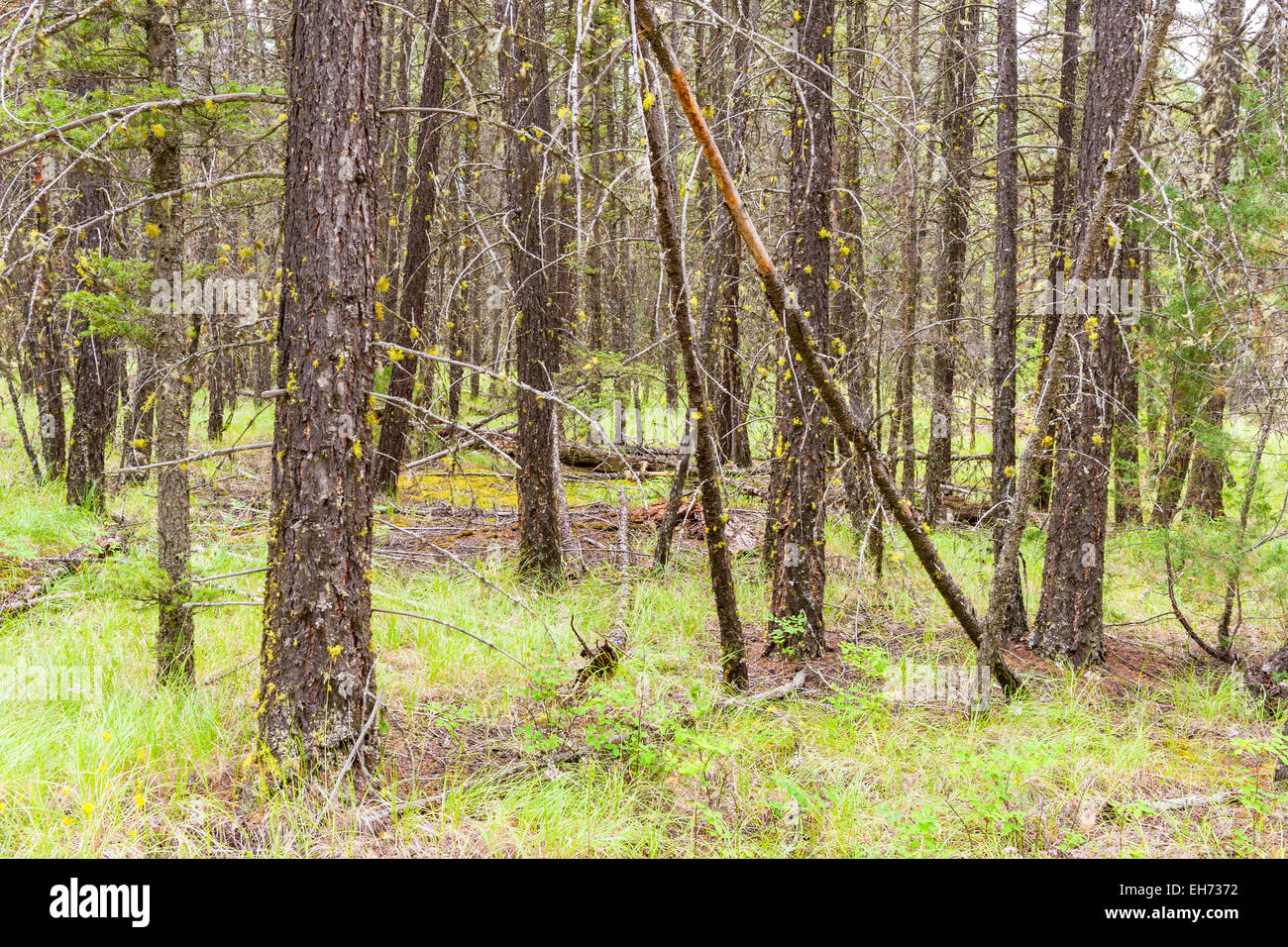 Detail of boreal forest near Clinton, British Columbia, Canada. - Stock Image