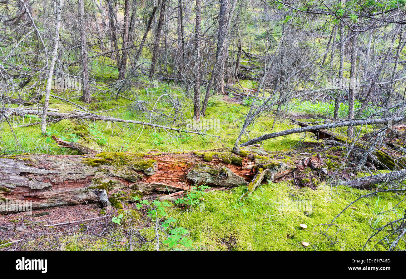 Rotting fallen tree, boreal forest near Clinton, British Columbia, Canada. - Stock Image