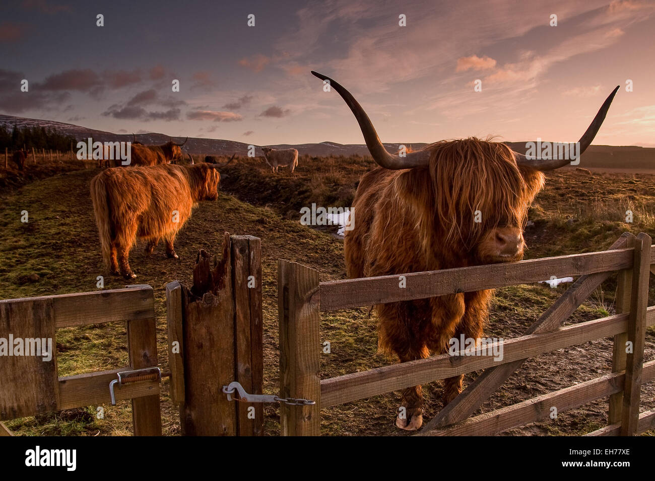 Highland Cow - Stock Image