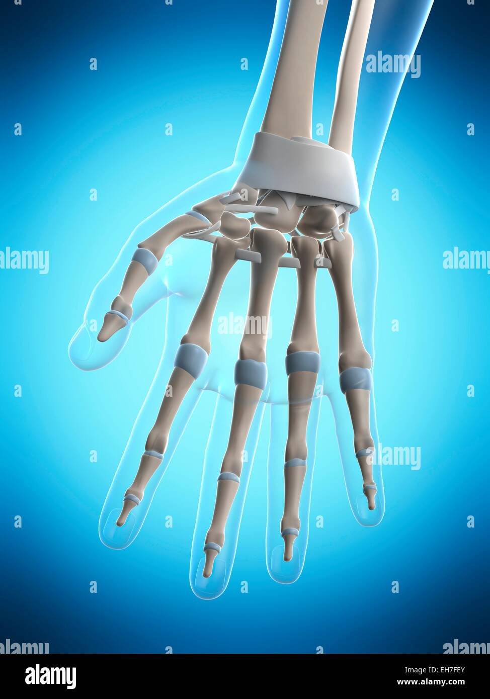 Human Hand Ligaments Stock Photos Human Hand Ligaments Stock