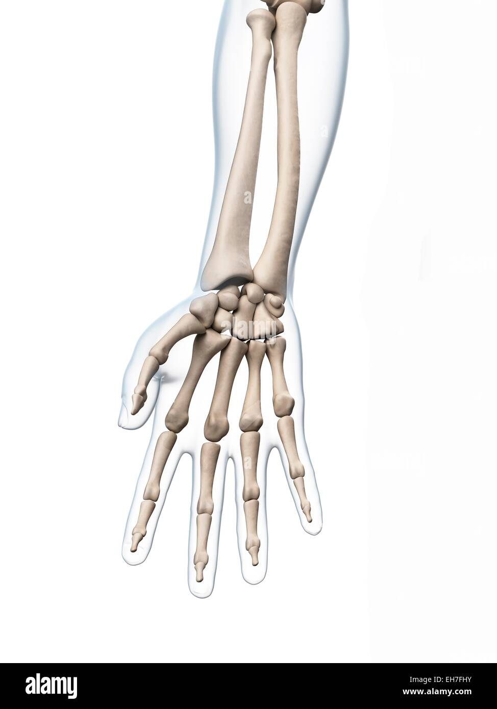 Human hand bones, artwork - Stock Image