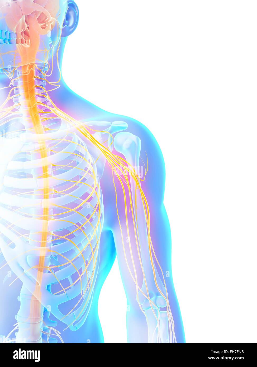 Human Shoulder Nerves Artwork Stock Photos & Human Shoulder Nerves ...