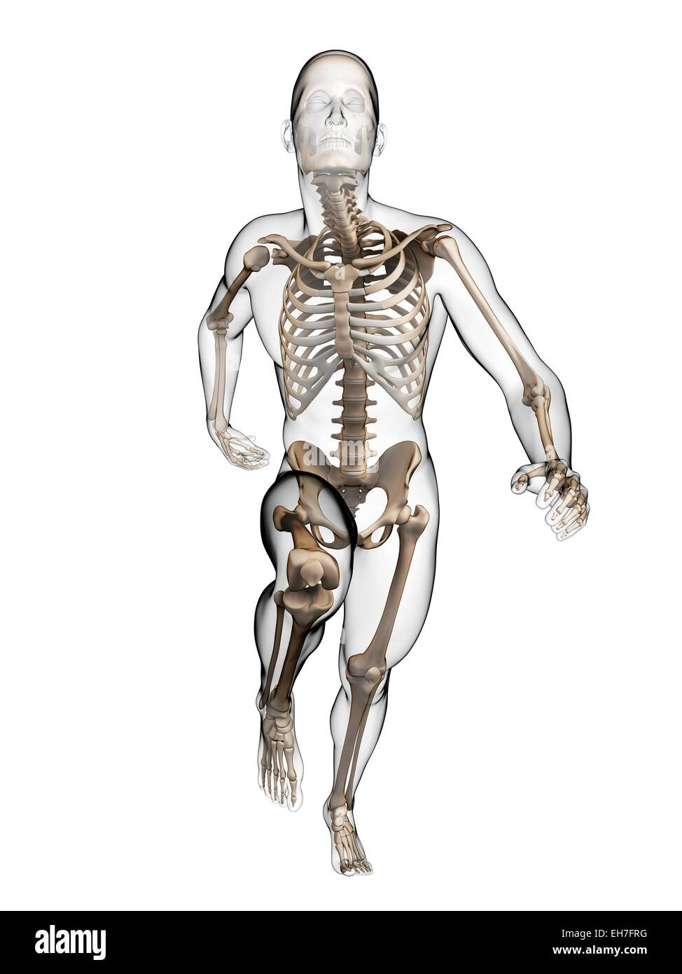 Skeletal System Of A Runner Cut Out Stock Images Pictures Alamy